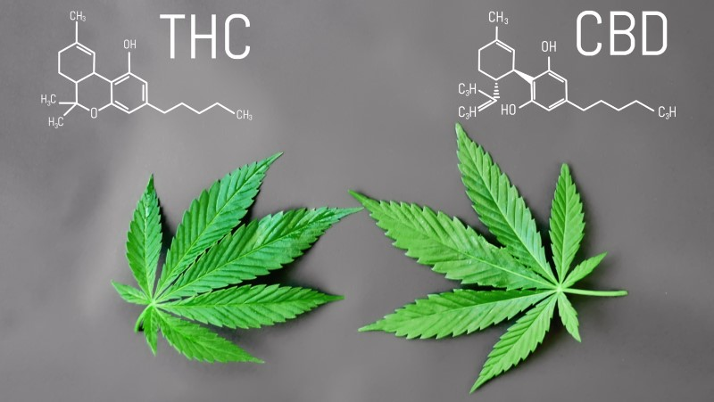 Những điều cần biết về chiết xuất CBD và THC